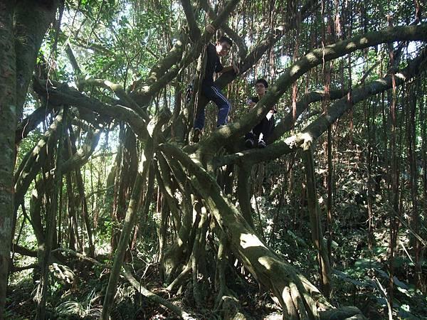 DSCF5871_榕樹是很神奇的植物,根碰到地面就可在再長一棵樹.JPG