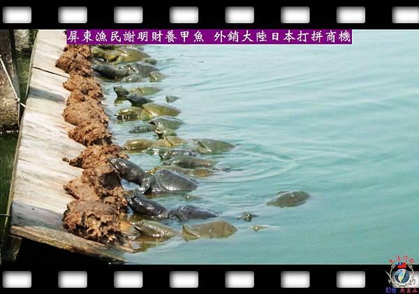20140412-甲魚外銷-屏東市漁民謝明財拼商機1