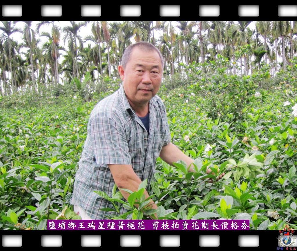 20140425-鹽埔鄉王瑞星種黃梔花-剪枝拍賣花期長價格夯1