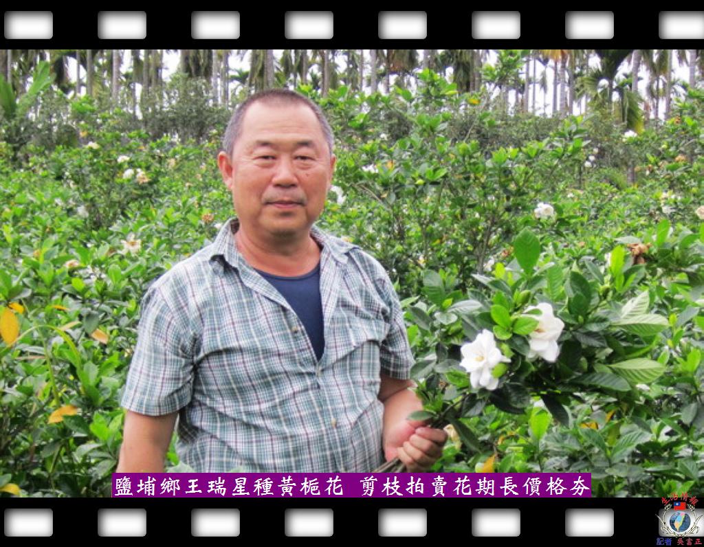 20140425-鹽埔鄉王瑞星種黃梔花-剪枝拍賣花期長價格夯2