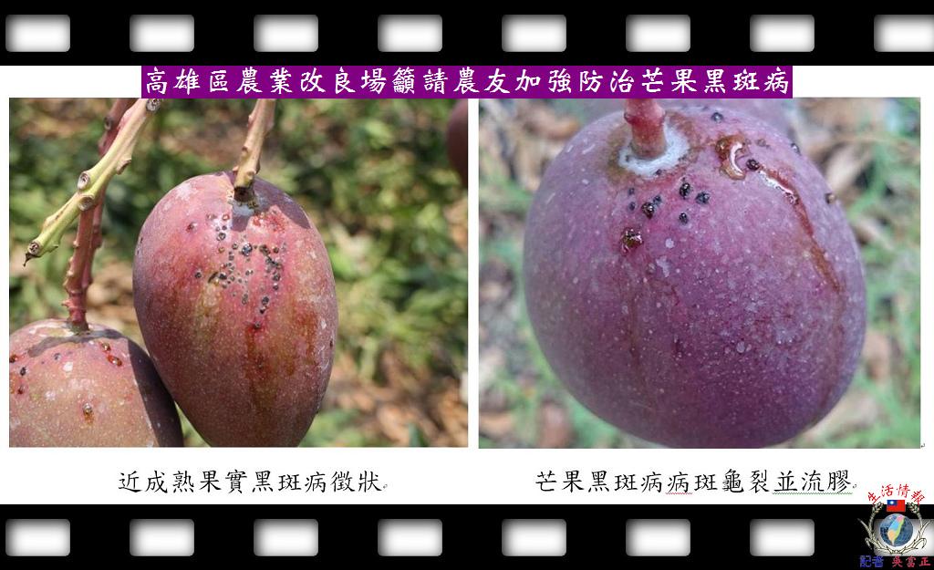20140428-高雄區農業改良場籲請農友加強防治芒果黑斑病2