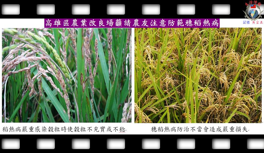 20140430-高雄區農業改良場籲請農友注意防範穗稻熱病2