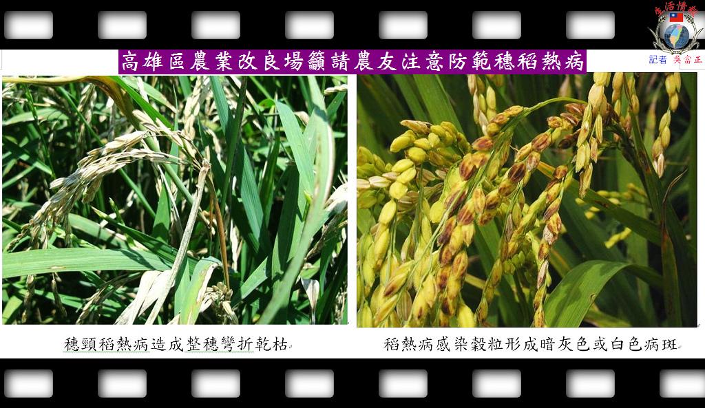 20140430-高雄區農業改良場籲請農友注意防範穗稻熱病1