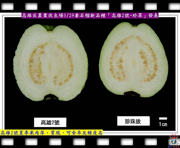 20140528-高雄場番石榴新品種「高雄2號-珍翠」發表3
