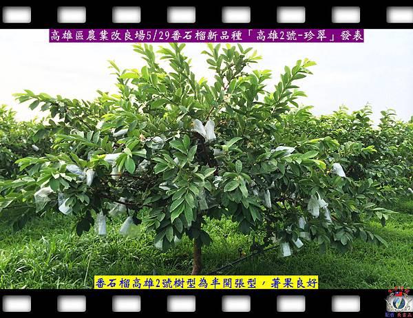 20140528-高雄場番石榴新品種「高雄2號-珍翠」發表1