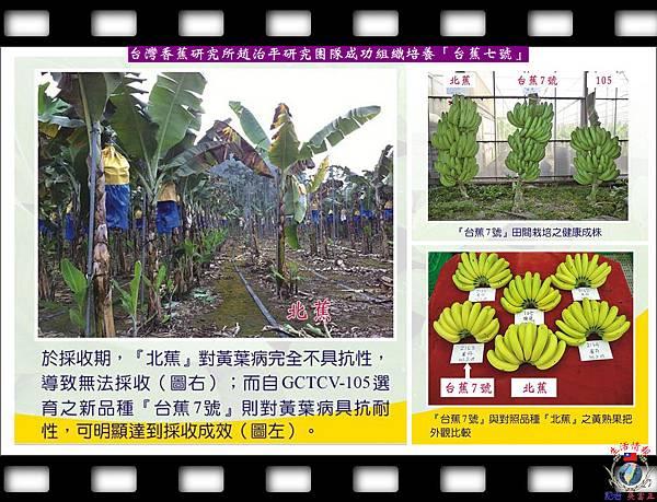 20140627-台灣香蕉研究所趙治平研究團隊成功組織培養「台蕉七號」