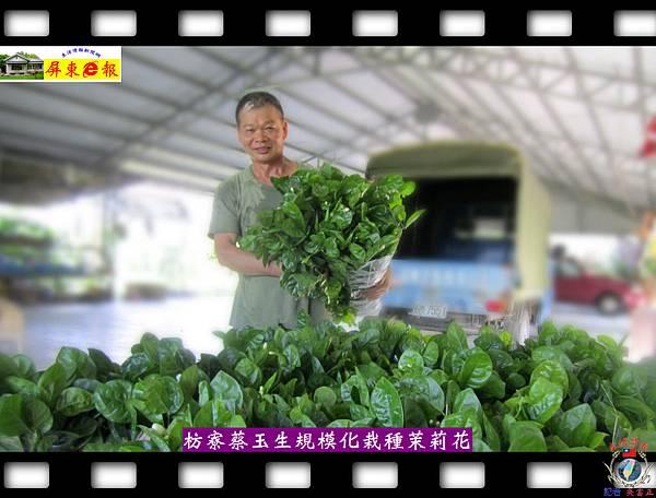 20140828-枋寮蔡玉生規模化栽種茉莉花第一人01