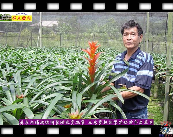20140929-觀賞鳳梨組培苗-內埔鴻德花卉年產近萬盒