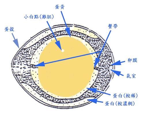 雞蛋構造.jpg
