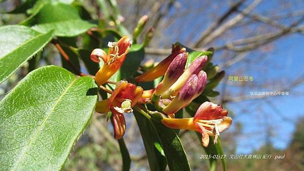 鹿林山-植物(14).JPG