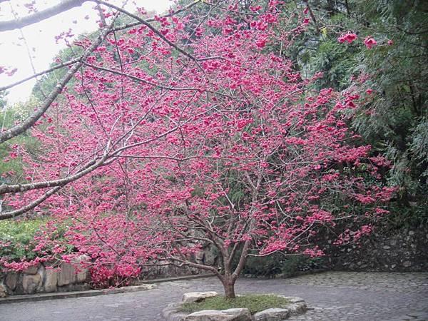 九族櫻花祭(26).JPG