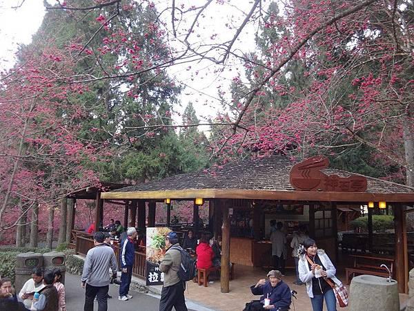 九族櫻花祭(27).JPG