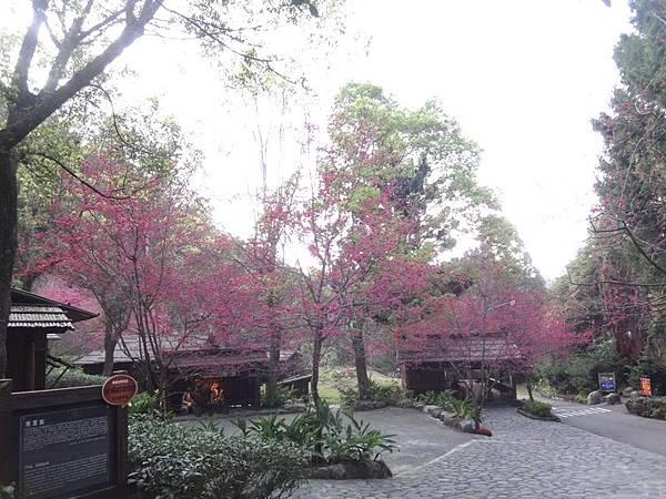 九族櫻花祭(33).JPG