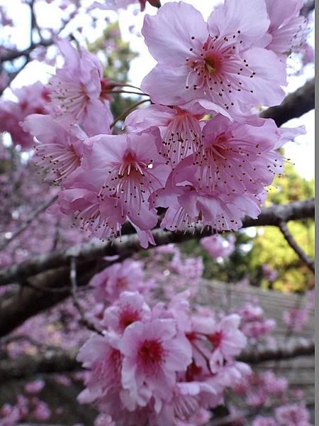 九族櫻花祭(36).JPG