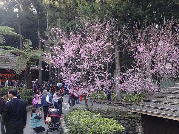九族櫻花祭(35).JPG