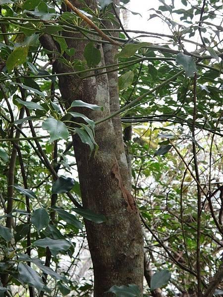 昆蘭樹(30).JPG