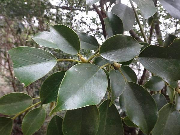 昆蘭樹(36).JPG