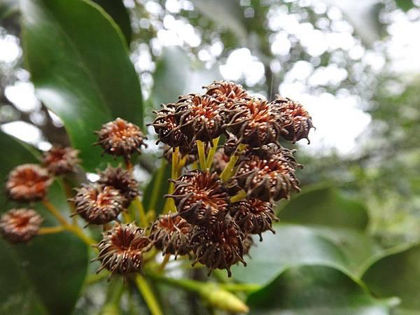 昆蘭樹(38).JPG