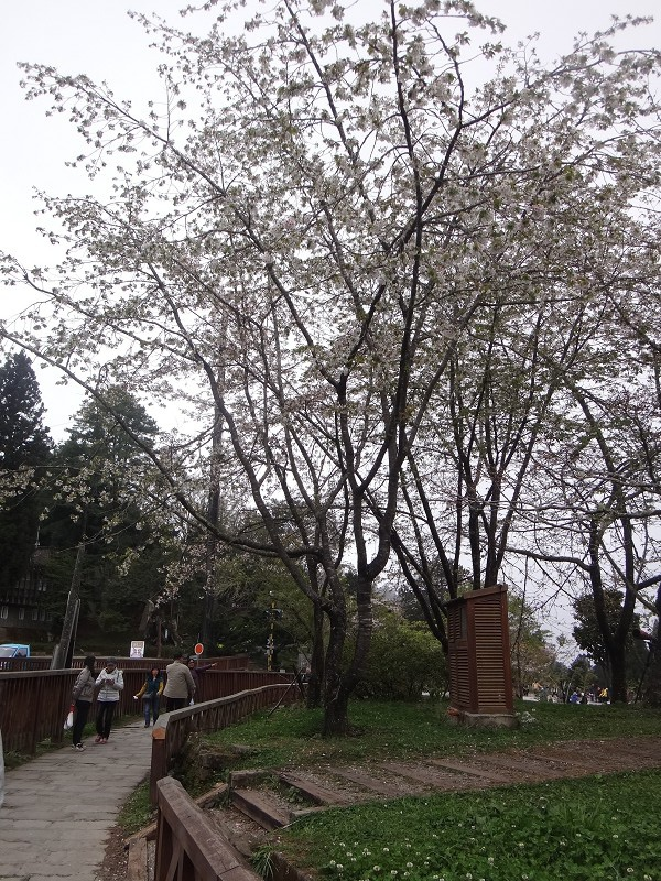 12-大島櫻-工作站(11).JPG