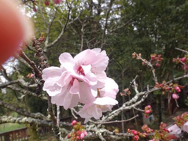 14-高砂櫻-沼平公園(18).JPG