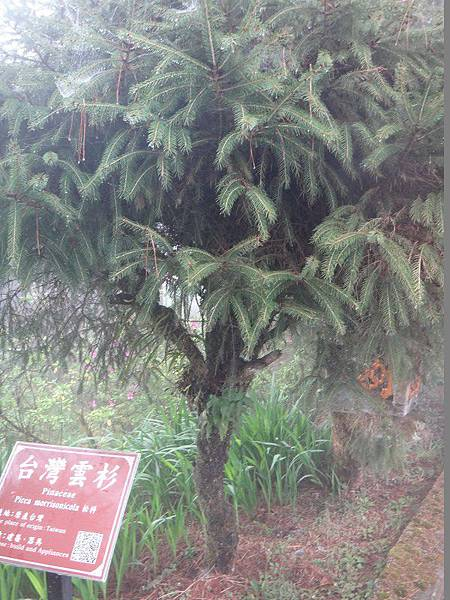 62-台灣雲杉-阿里山(12).JPG