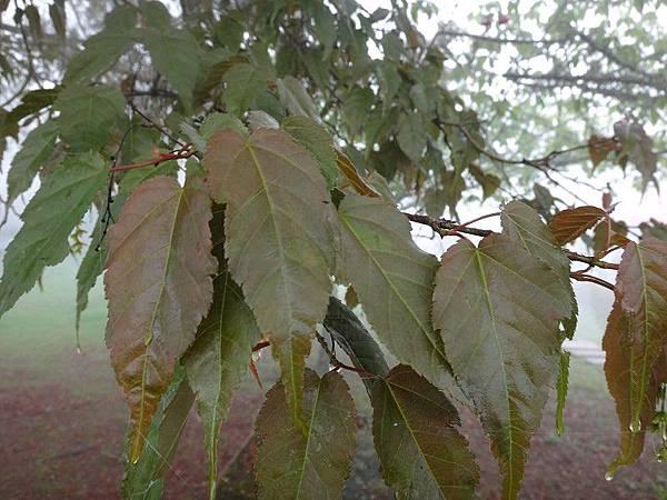 70-尖葉槭-阿里山(13).JPG