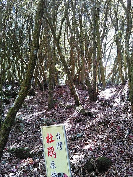 10-台灣杜鵑-杉林溪(132).jpg