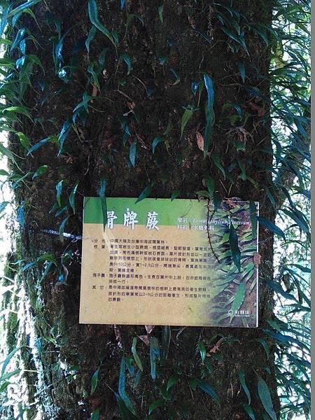 22-骨牌蕨-杉林溪(13).jpg