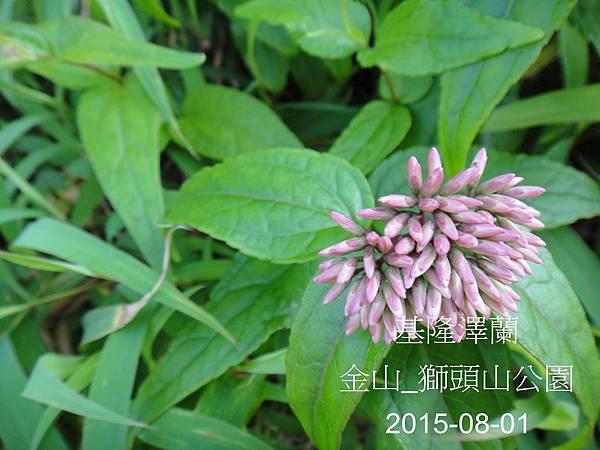 08-基隆澤蘭_菊科(18)_獅頭山.JPG