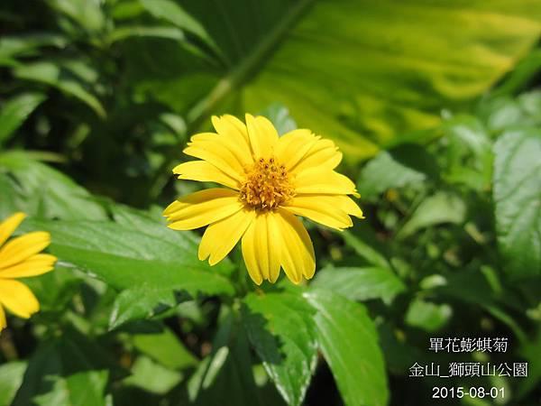 14-單花蟛蜞菊_菊科(11)_獅頭山.JPG