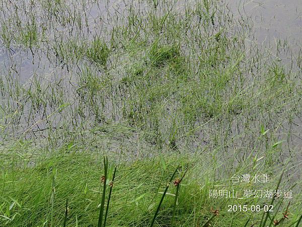 08-台灣水韭_水韭科_夢幻湖.JPG