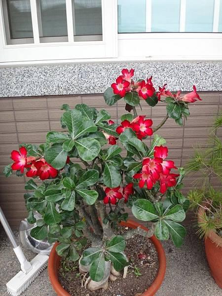 沙漠玫瑰(14).JPG