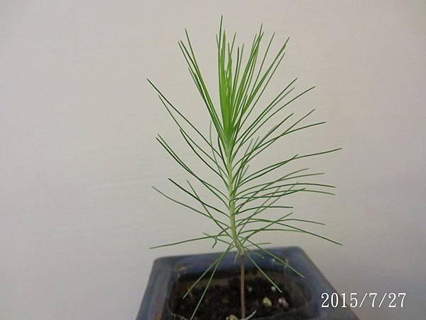 種子盆栽_濕地松(30)