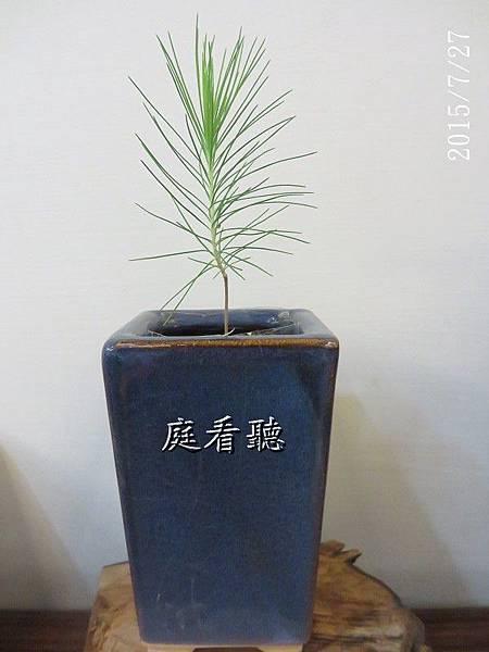 種子盆栽_濕地松(34)