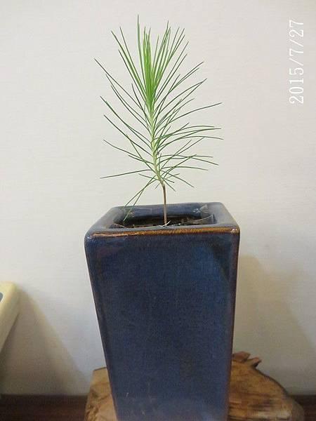 種子盆栽_濕地松(33)