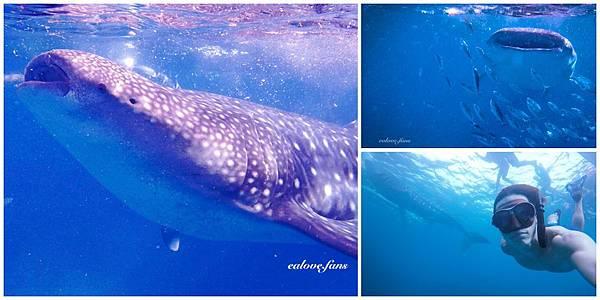 鯨鯊合圖.jpg