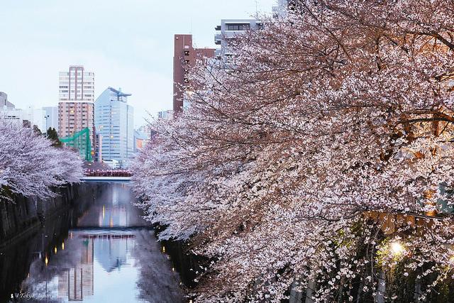 2018 東京櫻花