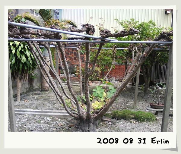 這個很奇特的形狀是楊桃樹呢!