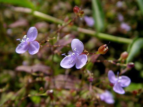 矮水竹葉的花