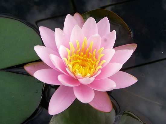 Nymphaea 'Fire Crest' (火冠)