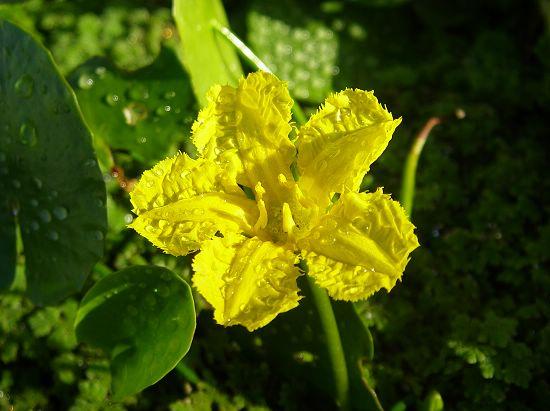 園藝種黃花莕菜
