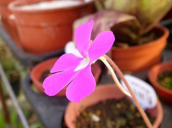 Pinguicula  'Sethos'(ehlersiae x moranensis)