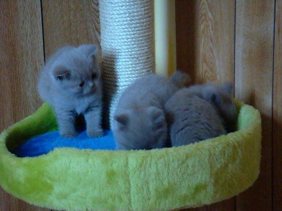 三隻Lilac kitten