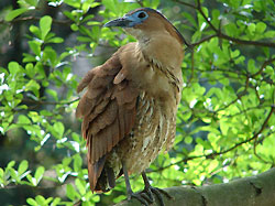 黑冠麻鷺 6.24..jpg