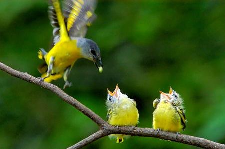 灰喉山椒鳥.jpg
