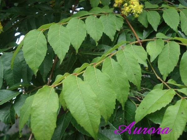 台灣櫟樹3.jpg