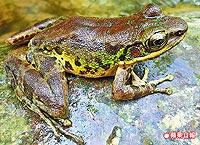 斯文豪氏赤蛙 1.jpg