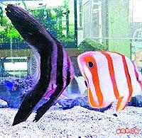 水中黑蝙蝠 燕魚 8.11..jpg