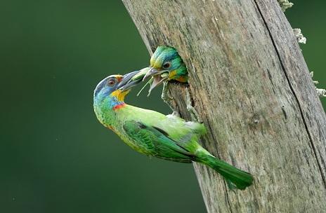 五色鳥3.jpg