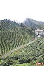 沿著山壁種植的茶園12.2..jpg